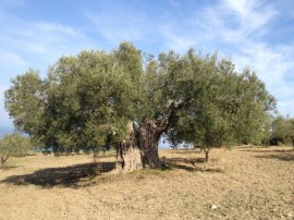 oldest-olive-tree
